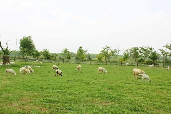 Những chú dê hiền lành được thả tự do ăn cỏ trên cánh đồng rộng lớn