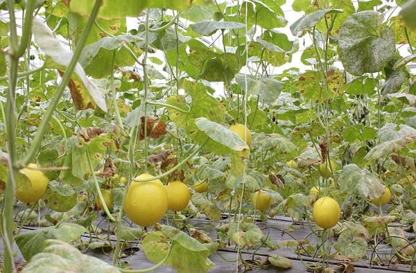 Hơn 1000 trái dưa hoàng kim đang chờ thu hoạch tại các nhà lồng ở Green Noen. Dưa tại đây được thụ phấn bằng tay và trồng hoàn toàn bằng phương pháp tự nhiên. Khách tham quan tự tay chọn hái dưa với giá 50.000đ/kg