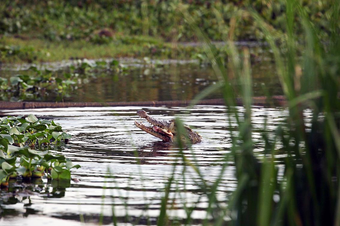 Nắng lên, hoá ra chúng tôi đang trên một bàu đầy cá sấu tự nhiên.