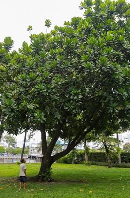 Cây bàng vuông cao khoảng 8 m, lá sum sê, nằm bên bờ kênh Nhiêu Lộc - Thị Nghè, quận 1, TP HCM. Đây là món quà của quân và dân Trường Sa tặng TP HCM năm 2002, do nguyên Chủ tịch nước Nguyễn Minh Triết (lúc đó là Bí thư Thành ủy TP HCM) trồng.  Cây bàng vuông còn được gọi là bàng bí, chiếc bàng, cây thuốc cá. Tên khoa học là Barringtonia asiatica, là thực vật bản địa rừng ngập mặn ven biển nhiệt đới và đảo.