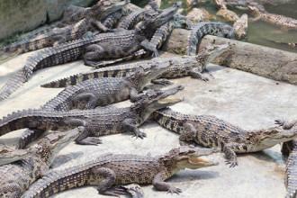 Đàn cá sấu trưởng thành ở trang trại ông Tôn Thất Hưng ẢNH: AN HUY