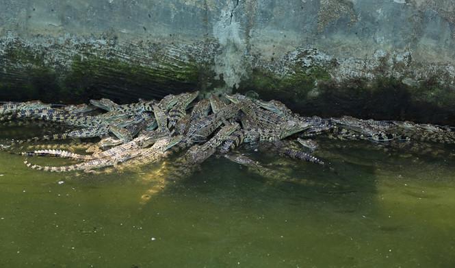 Đàn cá sấu con đang trong giai đoạn trưởng thành ẢNH: AN HU