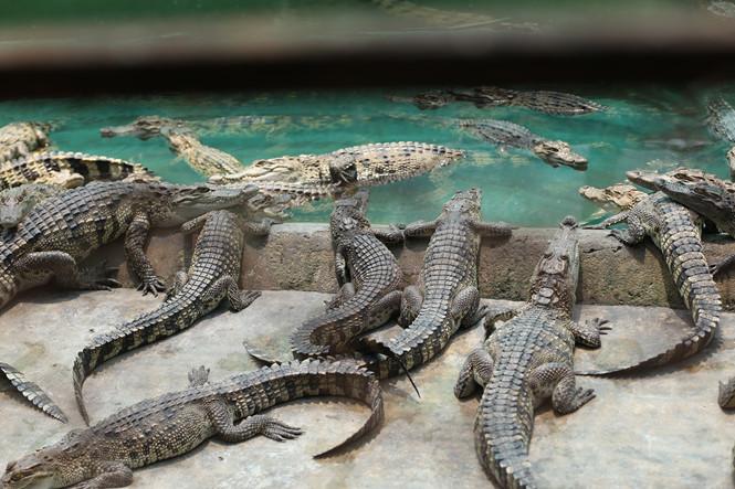 Nghề nuôi cá sấu đến với ông Hưng như một cơ duyên ẢNH: AN HUY