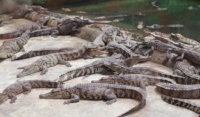 Đàn cá sấu đang phơi nắng trong trang trại của ông Tôn Thất Hưng ẢNH: AN HUY