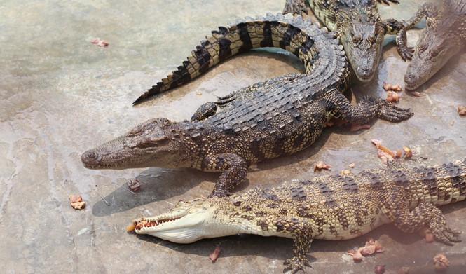 Thức ăn chính của cá sấu là cá và thịt gà ẢNH: AN HUY