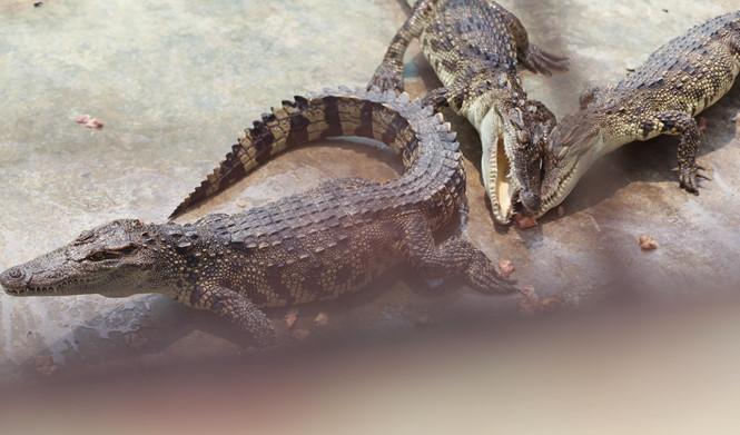 Cá sấu đến giai đoạn lấy da phải nuôi từ 2,5 - 3 năm ẢNH: AN HUY