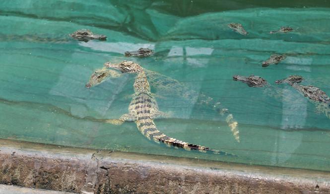 Cá sấu được lấy thịt làm thực phẩm, xương để nấu cao và da làm đồ thời trang bền đẹp ẢNH: AN HUY