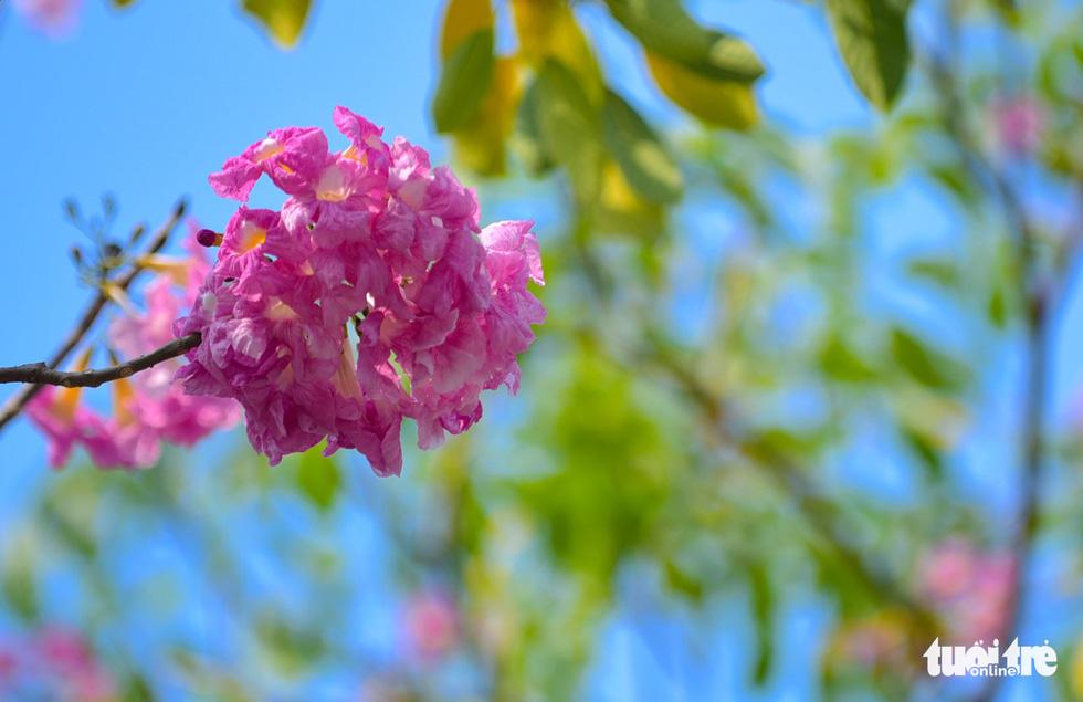 Người đi bộ trên vỉa hè khó lòng dời mắt khỏi những bông hoa kèn hồng - Ảnh: THUẬN KHÁNH