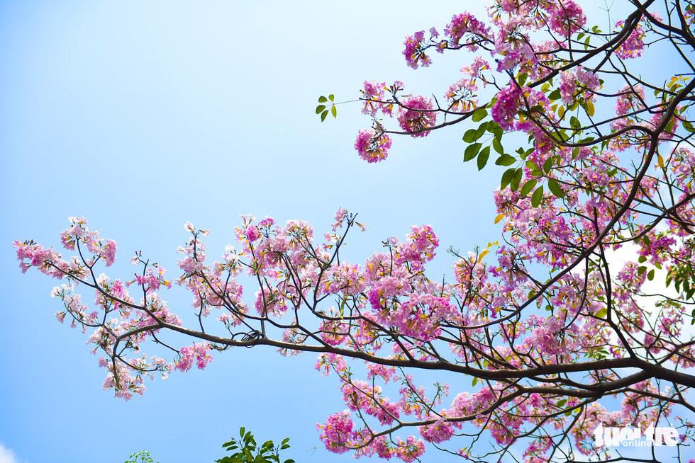 Sau khi rụng lá, kèn hồng chỉ còn những cụm hoa hình dáng giống chiếc kèn trên những đầu cành - Ảnh: THUẬN KHÁNH