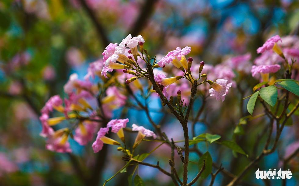 Những cụm hoa màu hồng nhạt hình dáng giống chiếc kèn - Ảnh: THUẬN KHÁNH