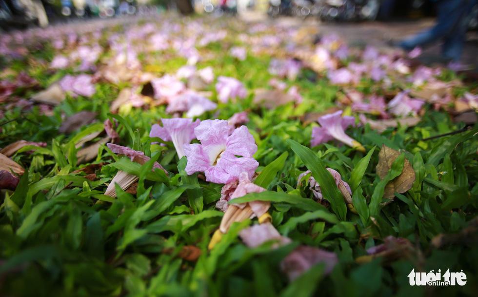 Phần thảm cỏ trên vỉa hè ngập tràn hoa kèn hồng rụng xuống - Ảnh: THUẬN KHÁNH