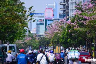 Dọc tuyến đường Điện Biên Phủ, Q. Bình Thạnh tràn ngập sắc hoa kèn hồng - Ảnh: THUẬN KHÁNH