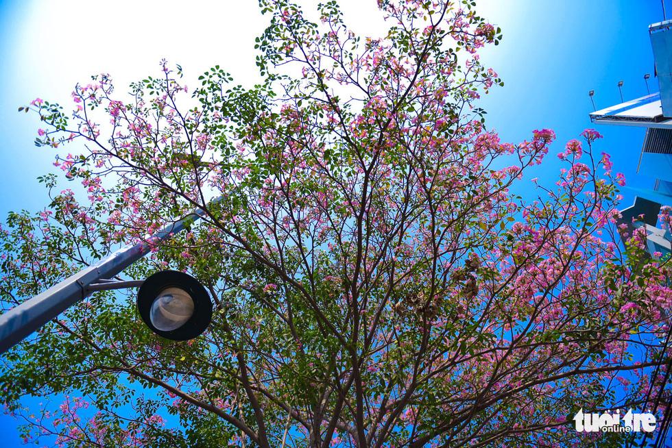 Hoa kèn hồng khoe sắc trên đoạn đường Điện Biên Phủ, Q. Bình Thạnh - Ảnh: THUẬN KHÁNH