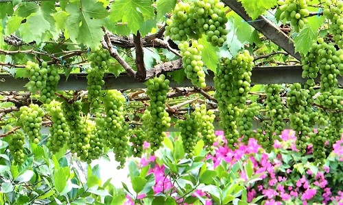 Những chùm nho trĩu quả không thua kém ở thủ phủ nho Ninh Thuận. Ảnh: Phunuonline.