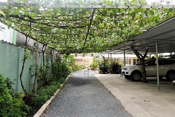 Vườn nho sai trĩu quả của ông Trương Văn ở (quận 9, TP HCM) được trồng ngay lối vào nhà cách mặt đất khoảng 4 mét. Ảnh: Phunuonline