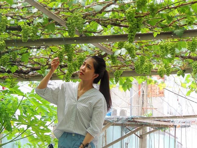 Cũng là giống nho Ninh Thuận nhưng nho trong vườn của ông Trương Văn Ở đặc biệt hơn nhiều bởi nó được trồng theo phương pháp hữu cơ, không thuốc trừ sâu, sạch 100%. Ảnh: Phunuonline.