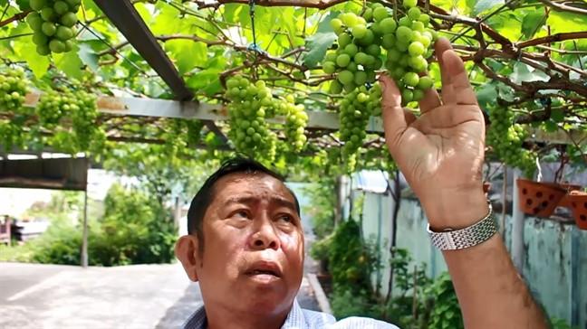 Trong một lần đi chơi ở Ninh Thuận, ông Ở được cho 2 gốc nho về trồng thử nhưng một gốc trồng bị chết, gốc còn lại, trồng 12 tháng thì cho trái bé bằng hạt tiêu và ăn rất chua. Ảnh: Phunuonline.