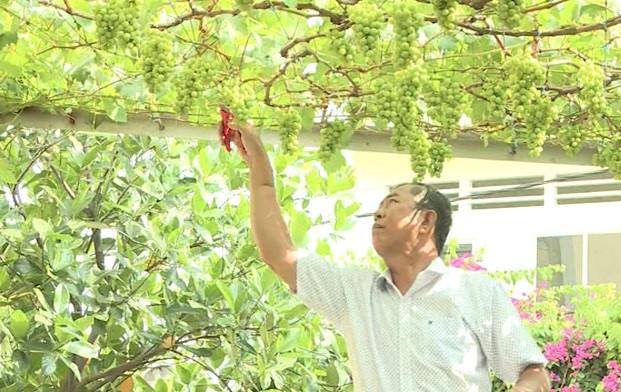 Với 30 gốc nho cho trái, mỗi vụ trên dưới 1.000 chùm, giá bán từ 60.000đ - 80.000đ/kg, vườn nho mang về cho gia đình ông thu nhập hàng trăm triệu đồng/năm. Ảnh: Saigontv.