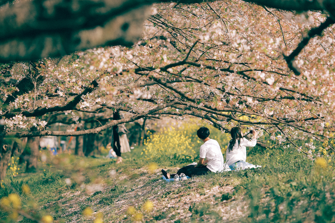 Hanami là nghi lễ ngắm hoa truyền thống của người Nhật. Họ rủ nhau ra công viên, vườn hoa trải bạt ngồi dưới gốc cây, uống rượu, uống trà và bày đồ ăn, vừa ăn vừa trò chuyện, ngắm hoa nở. Thi thoảng, vài cơn gió cuốn qua, hàng ngàn cánh hoa mỏng manh rơi xuống theo chiều gió tạo nên một cảnh tượng lãng mạn. Nếu có cánh hoa nào lỡ rơi vào ly trà, họ sẽ uống ngay vì cho rằng đó là một điềm may mắn.