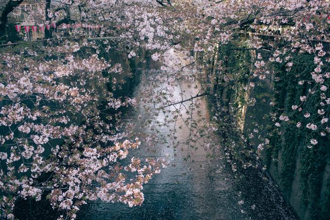 """Chuyến đi của anh chàng trễ hai ngày so với thời điểm anh đào nở rộ, hoa bắt đầu rụng nhiều nhưng vô tình lại tạo nên cảnh """"nước chảy hoa trôi"""" lãng mạn bên dòng sông Meguro (Tokyo). Những """"dòng sông đỏ"""" là cách người Nhật gọi mặt nước hồ vào mùa hoa đào, khi cánh hoa rụng xuống dày đặc cả một vùng nước."""