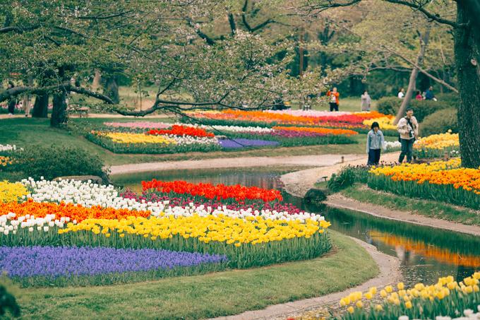 Hoa tulip ở công viên Sowa Kinen được chăm sóc cẩn thận đến nỗi khiến anh chàng tưởng chừng như người ta chỉ chưa cho hoa nghe nhạc như bò Kobe thôi. Nhật Bản là thế với của những vườn hoa, mùa nào hoa nấy, luôn chăm chút cẩn thận. Sau mùa anh đào và tulip sẽ đến mùa hoa tử đằng và baby blue eyes màu xanh biếc.