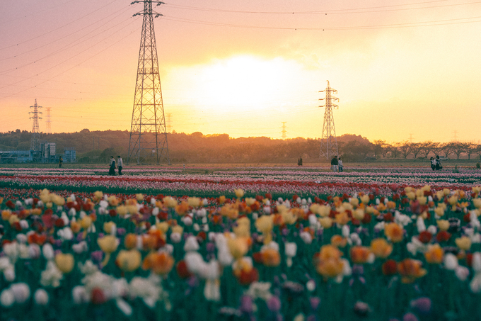 Cánh đồng tulip đủ sắc màu ở thành phố Sakura, Chiba đẹp như bức tranh vẽ lúc hoàng hôn.