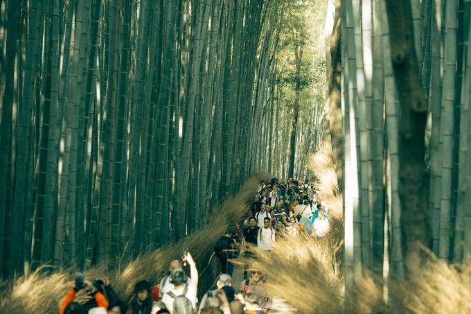 Rừng tre ở Kyoto sẽ hoàn hảo nếu không có rừng người đông đúc tham quan mỗi ngày. Giống tre Nhật này không phải tự dưng mọc thẳng đều tăm tắp như vậy. Bản thân tre đã đẹp sẵn, màu sáng và óng ánh khi có nắng. Chúng không mọc thành bụi dày đặc như tre Việt Nam mà mọc thưa từng cây một nên vẫn có một khoảng trống giữa các cây. Nhánh tre được tỉa thuường xuyên nên mới gọn đẹp như vậy. Người ta dùng máy tỉa cành có cánh tay vươn lên cao, tỉa định kỳ. Nhánh tỉa xuống được tận dụng bện thành hàng rào hai bên nhìn đẹp mắt và gọn gàng.