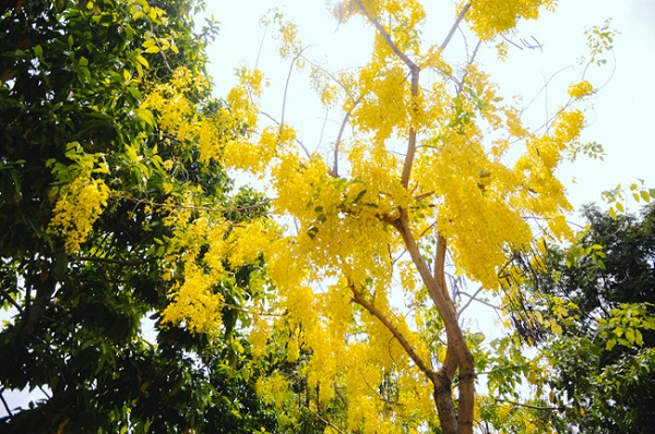 Những ngày tháng 4, nhiều người lưu thông trên các tuyến đường ở TP.HCM không khỏi ngạc nhiên khi thấy hoa Osaka nở rộ, vàng rực cả một góc trời. Nhìn hoa màu vàng chói trong nắng chiều, lòng người lại nao nao khó tả.