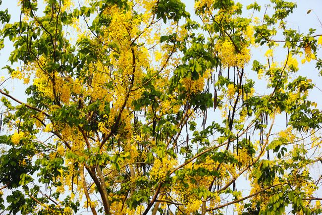 """""""Tôi sẽ gọi Sài Gòn của tháng tư là thành phố hoa vàng bởi sắc vàng của hoa điệp, của hoa Osaka đang ngập cả phố phường. Những cánh hoa mỏng và nhẹ khi rơi xuống vẫn lặng lẽ bên đường dệt thành những thảm hoa vàng lưu luyến bước chân qua"""", chị Trần Thị Hương (quận Tân Phú) chia sẻ."""