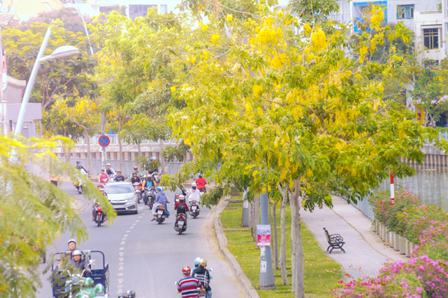 Hoa Osaka khoe sắc trong nắng chiều trên 2 tuyến đường dọc kênh Nhiêu Lộc – Thị Nghè.