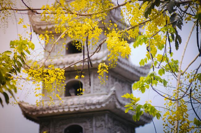 Hoa Osaka còn có nhiều tên gọi khác như muồng hoàng yến, muồng hoàng hậu, bò cạp nước, lồng đèn, lan miên, mai dây, mai nở muộn…
