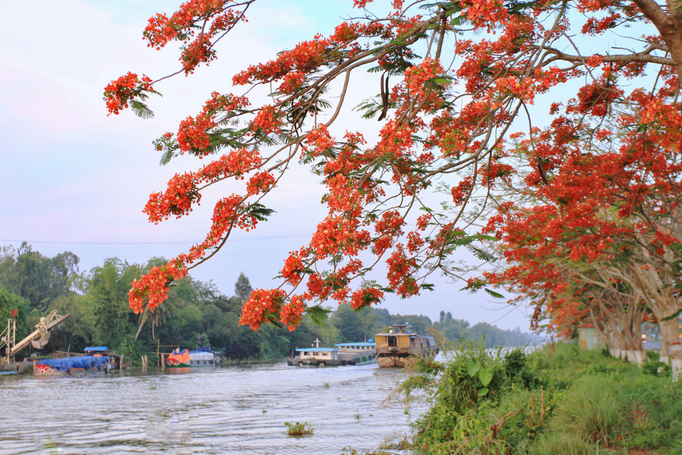 Một cành phượng sà xuống mặt sông cạnh quốc lộ - Ảnh: HOÀNG PHÁT