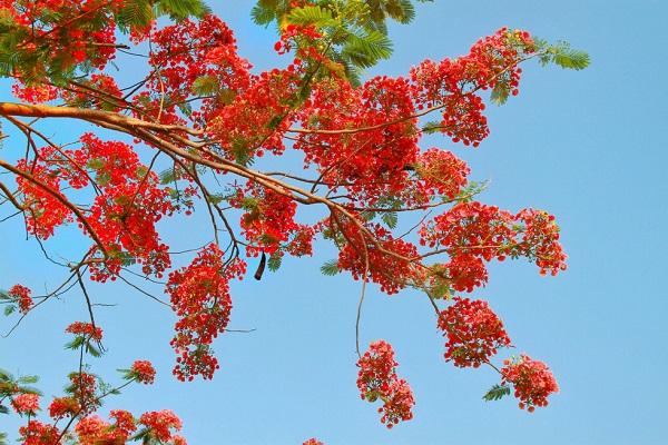 Theo bạn Văn Toàn (ngụ Lấp Vò, Đồng Tháp), những năm trước hoa phượng ở con đường này cũng nở rất nhiều nhưng không đồng loạt - Ảnh: HOÀNG PHÁT