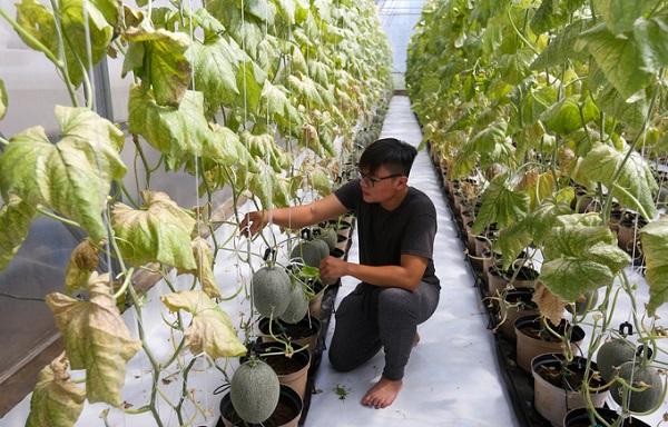 Trần Phương Tùng (21 tuổi) học Quản trị kinh doanh tại Mỹ nhưng anh lại quyết định quay trở về Việt Nam lập nghiệp với giống dưa lưới Ichiba Nhật Bản.