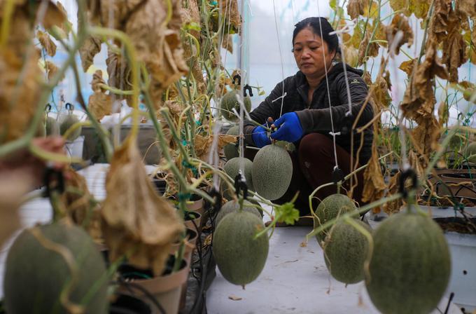 Thời gian đầu, hơn 30% số quả dưa lưới khi chín bị hỏng do chăm sóc chưa đạt chuẩn. Hiện, nhà vườn của Tùng có bảy nhà màng với số lượng khoảng 8.000 gốc dưa.