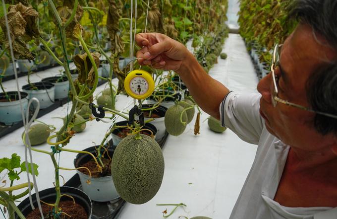 """Cầm theo chiếc cân nhỏ loại 5 kg, ông Lưu Hữu Lễ (60 tuổi, quản lý nhà vườn) cho biết: """"Một quả dưa từ khi mới hình thành đến lúc chín mất khoảng một tháng, có trọng lượng trung bình 2 ký. Việc cân ngay trên cây phải làm liên tục để kiểm soát sự phát triển của trái""""."""