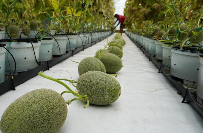 Hái giống dưa lưới Nhật phải luôn phải nhẹ nhàng, trái được cắt thừa một phần cuống rồi khẽ đặt xuống đất theo hàng dọc để không bị dập.