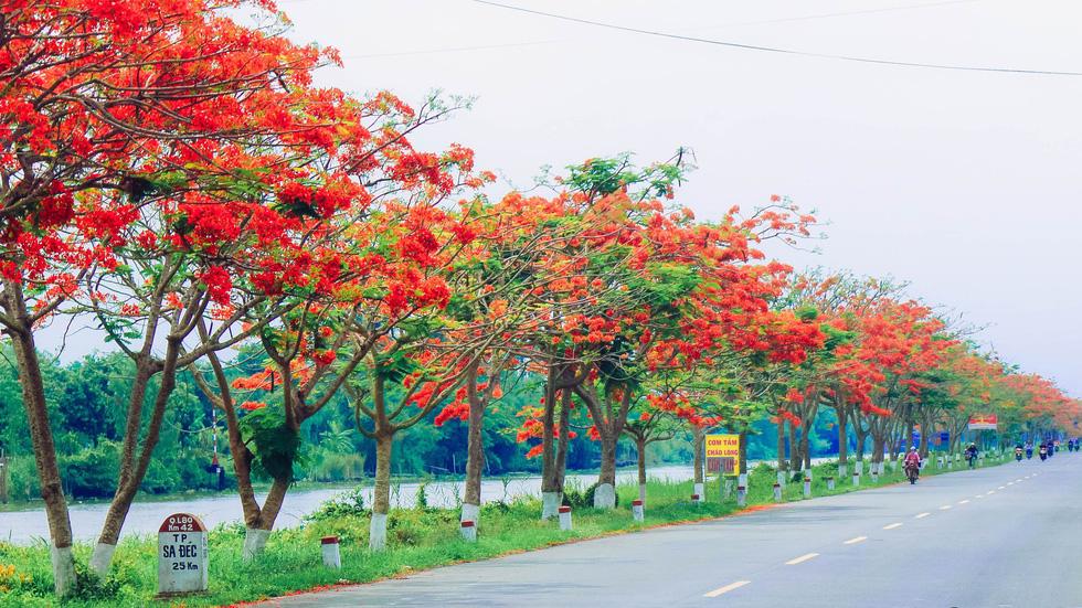 Đoạn đường dài hơn 2km nở đầy hoa phượng đang được nhiều bạn trẻ chia sẻ trên mạng xã hội - Ảnh: THANH NHÀN