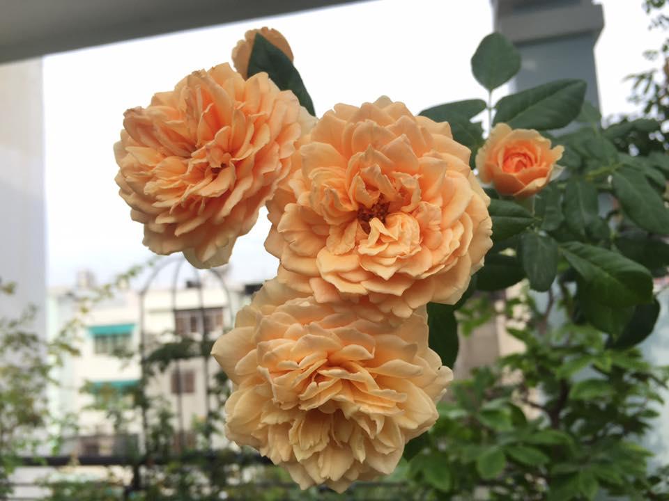 Chị thường cắt hết cành tăm ( cành phụ) để hoa tập trung cành chính, vì thế hoa ra chùm rất đẹp.