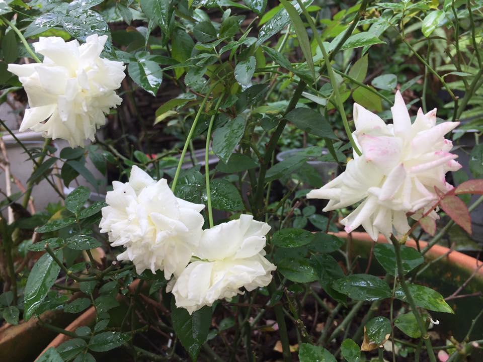 """Ngoài ra, chị còn thường xuyên giâm và chiết giống hoa hồng để tặng mọi người trong hội """"Hoa hồng và những người bạn"""", chia sẻ kiến thức về chăm sóc hoa hồng với những bạn cùng yêu sở thích. Cuộc sống của chị mỗi ngày thật nhiều niềm vui bên cạnh hoa, cạnh vườn."""