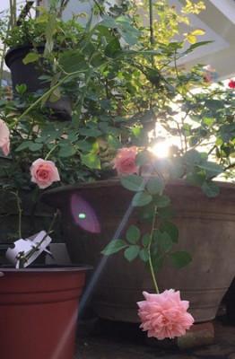 Ngôi nhà nhỏ của chị Đan Thanh (quận Tân Bình, TP.HCM) khiến bất kỳ ai đi qua đều phải dừng lại ngắm nhìn bởi vẻ đẹp lãng mạn, ngọt ngào của hàng chục gốc hồng tỏa hương thơm ngát.