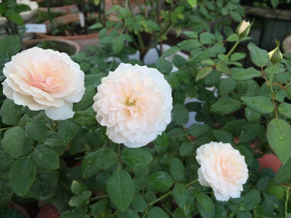 Để hồng sai hoa, khỏe mạnh, nên trồng cây ở vị trí có đủ ánh nắng, thông thoáng.