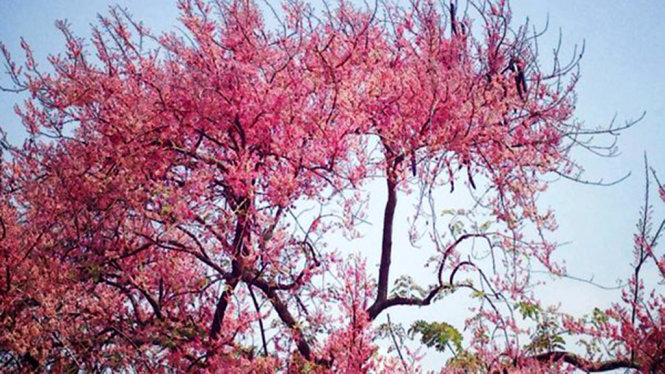 Ô môi mùa hoa nở