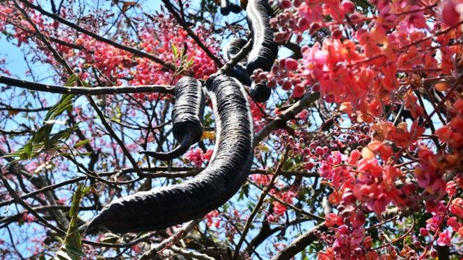 Trái ô môi trên cành giữa mùa hoa