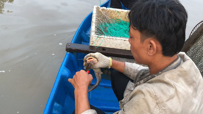 Theo anh Phát, những con cá ngát tuy nhỏ nhưng rất nguy hiểm vì chúng quẫy rất mạnh, anh Phát phải khéo léo để chế ngự được chúng