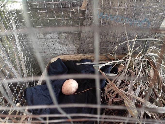 Ngày con gà đẻ quả trứng đầu tiên, con gái chị vô cùng vui sướng. Sau đó, gà liên tục đẻ trong 3 tháng, tổng cộng được khoảng 70 quả.