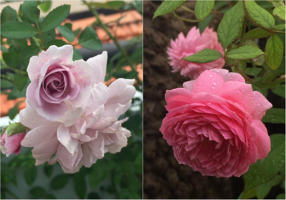 Vườn hồng với đủ loài khiến bao người mơ ước.