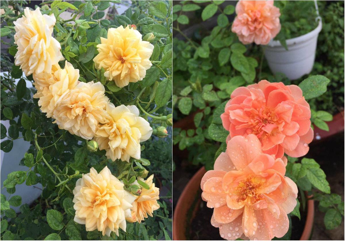 Những chậu hoa rực rỡ khoe sắc nhờ bàn tay chăm sóc tỉ mỉ của chị Đan Thanh.