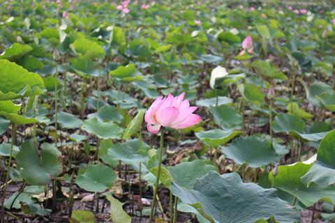 Hoa sen khoe sắc giữa Sài Gòn TẤN HIỆP