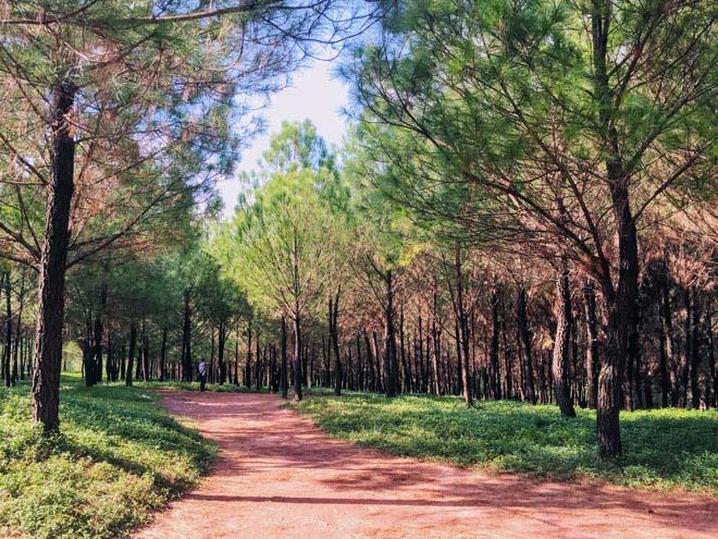 Rừng thông xanh mướt trên đồi Vọng Cảnh